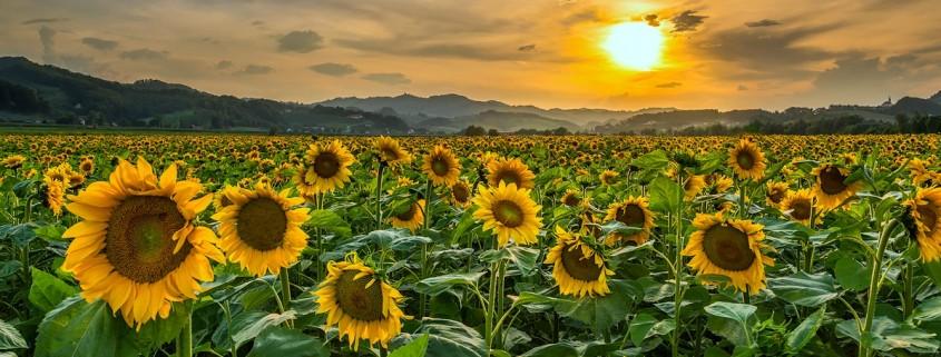 Polje sončnic