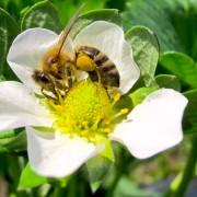 Kranjska čebela